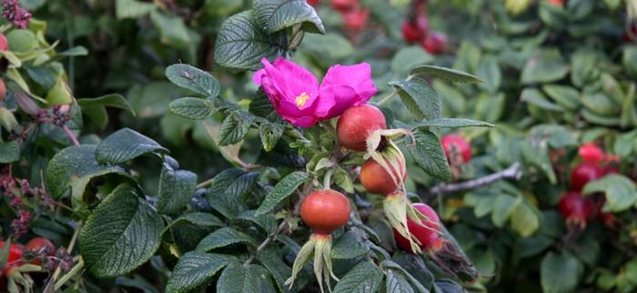 krzew dzikiej róży
