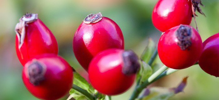 owoce dzikiej róży