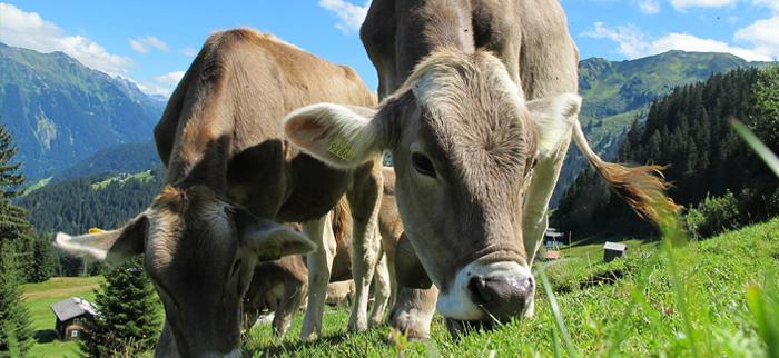 siara bydlęca - krowy