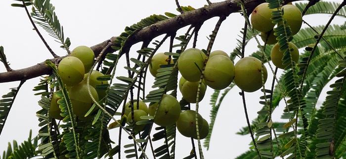 owoce agrestu indyjskiego