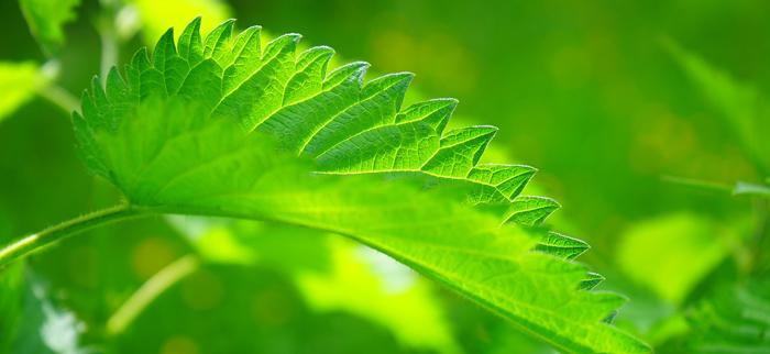 liść pokrzywy